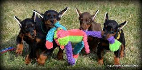 Loyal Doberman Pinscher Puppies Loyal Doberman Pinscher Puppies