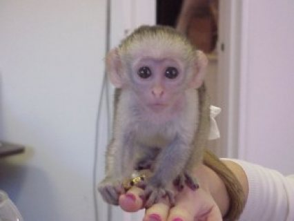 Cute Male and female baby Capuchin Monkey for adoption