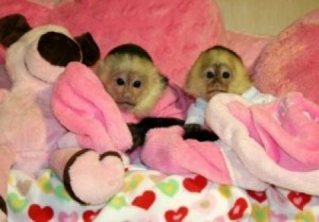 Twin Capuchin baby Monkeys For Rehoming at peanuts