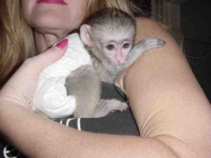 Top Quality Male and Female Capuchin monkeys for adoption.!!!!