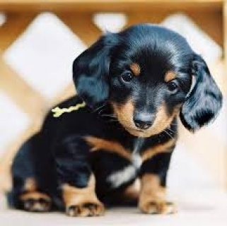 Dachshund puppies for Adoption males and females