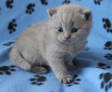 Stunning British Shorthair Kittens