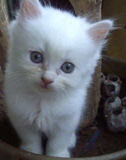Cute Male and Female Persian Kittens For Rehoming