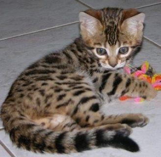 playful Bengal kitten for adoption