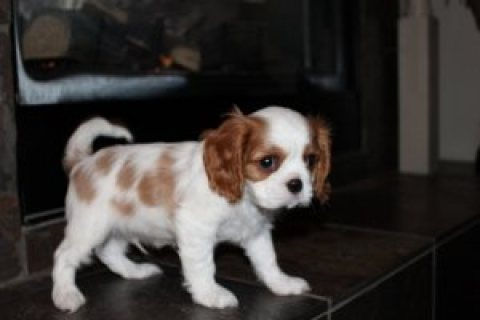Cute Cavalier King Charles Spaniel puppies for sale