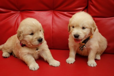Gorgeous white Golden Retriever Puppies For Sale