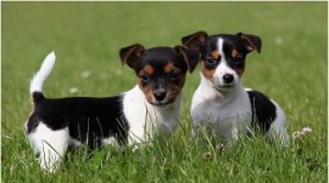 male and female Jack Russell puppies for adoption