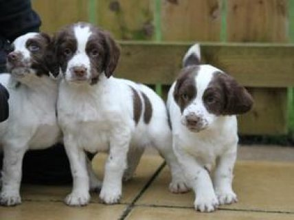 great looking English Springer Spaniel puppies