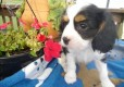 excellence cavalier king charles spaniel puppies for sale1122