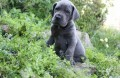 AKC Great Dane puppies for adoption. 1111