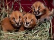 Caracal kittens and Cheetahs for sale