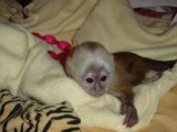 Acrobatic Capuchin Monkeys for Adoption