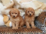 Ready To Go Kc Registered Toy Poodles Puppies