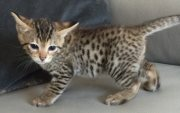 Lovely F1 Savannah Kittens available for sale