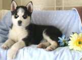 الجراء الجميلة سيبريا كلب الاسكيمو