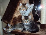 Pedigree Pure Siberian Kittens Available Soon