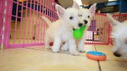 Gorgeous West Highland Terrier Pup