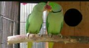 Hand Raised Alexandrine Talking Parrots