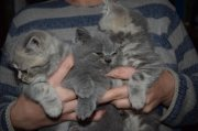 Tica Registered Scottish Fold/straight Kittens