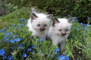 Ragdoll Cats For Rehoming