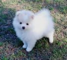 Gorgeous Male and Female Pomeranian Puppies for sale.
