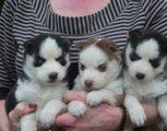 Beautiful Male and Female Husky Pups