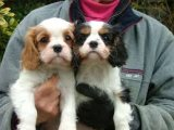 Outstanding Cavalier King Charles Spaniel Puppies for sale