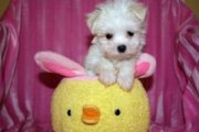 Registered Teacup Maltese Puppies for sale