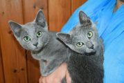 Russian Blue Tica Reg Kittens