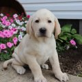 Stunning Labrador Puppies For Sale