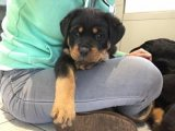 Rottweiler Puppies Available for sale now