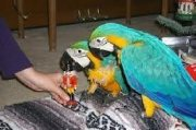 Female Blue and Gold Macaw With Cage