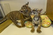 Male and Female Tiger cubs for sale