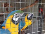 Pair of Blue & Gold Macaws (Price Reduced)
