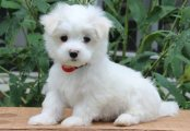 Exquisite Micro Tiny Kc Reg Maltese Girl for sale.