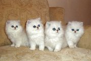 Both Male and Female Persian Kittens For Sale.