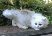 Both Male and Female Persian Kittens For Sale;
