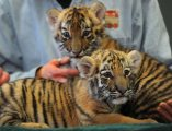 jags Tiger cubs for sale