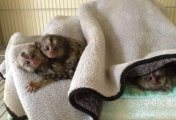 Adorable Marmoset Monkeys