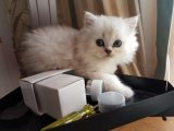 Gorgeous Persian Kittens available