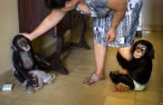 Wonderful Lovely Chimpanzee monkey for adoption