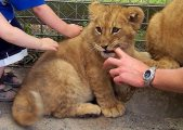 Beautiful litters of exotic feline cubs ready to go now
