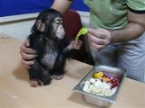 Marvelous Chimpanzee for Sale for sale