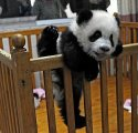 adorable baby Panda for sale