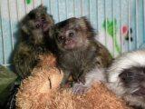 Adorable Marmoset  Monkeys For sale