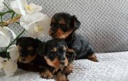 yorkie Puppies For Sale.