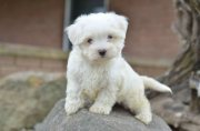 Cute home raise Maltese puppies for sale