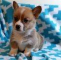 Quality Pembroke welsh corgi puppies for sale