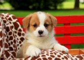 Beautiful Pembroke welsh corgi puppies for re-homing