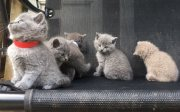 ..Cute Male and female British Short Hair Kittens For Sale